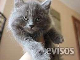 X persa gatito azul ruso