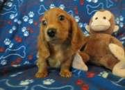 Adorables cachorros dachshund miniatura