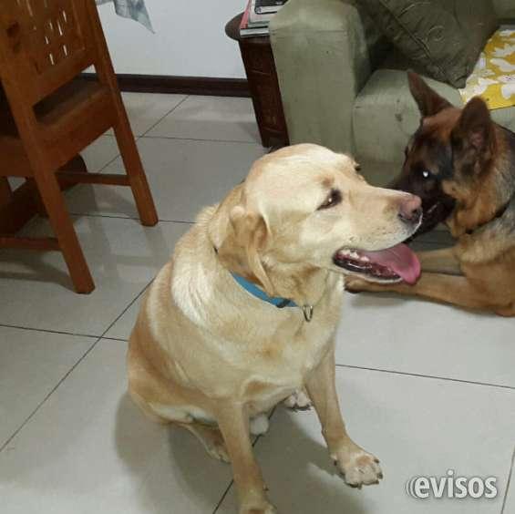Labrador extraviado*