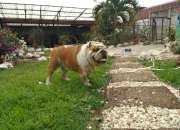 Bulldog Ingles Padrote