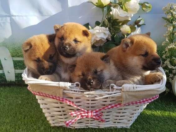 Impresionante pedigrí japonés shiba inu cachorros