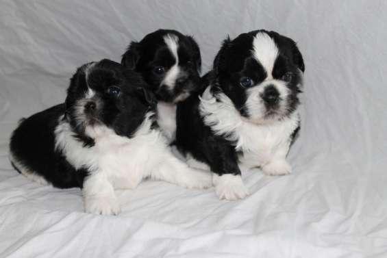 Perros adorables de shih tzu masculinos y femeninos