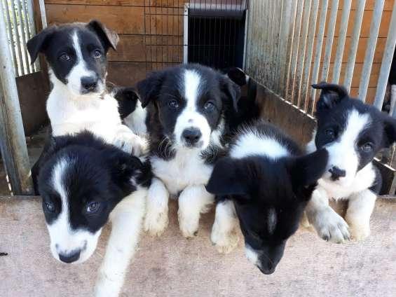 Hermosos cachorros de border collie