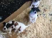 Hermosos cachorros de Jack Russell