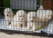 Hermosos cachorros samoyedos