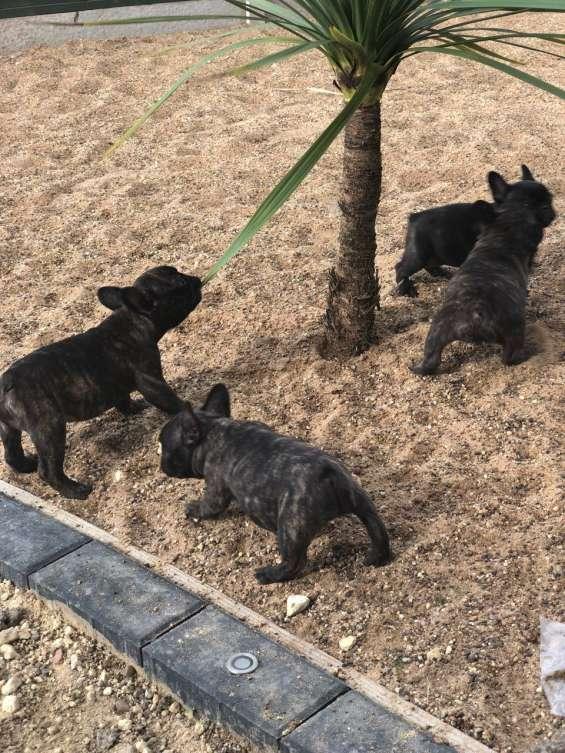 Adorables cachorros de bulldog francés