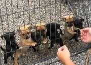 adorables cachorros Jug