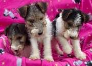 precioso cachorros de Fox Terrier Dogs