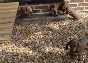 Preciosos cachorros dachshund en miniatura