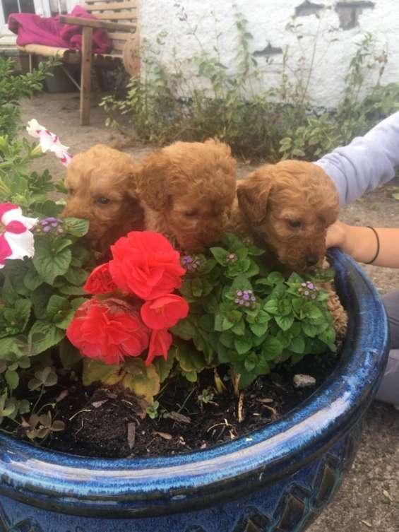 Preciosos cachorros de caniche miniatura