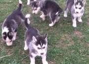 Cachorros dehuskysiberiano