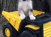 cariñosos cachorros Pomsky