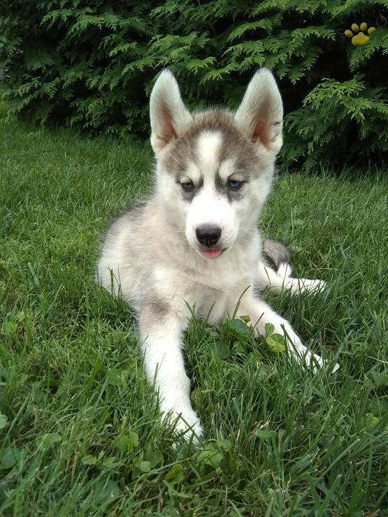 Cariñoso perro husky siberiano