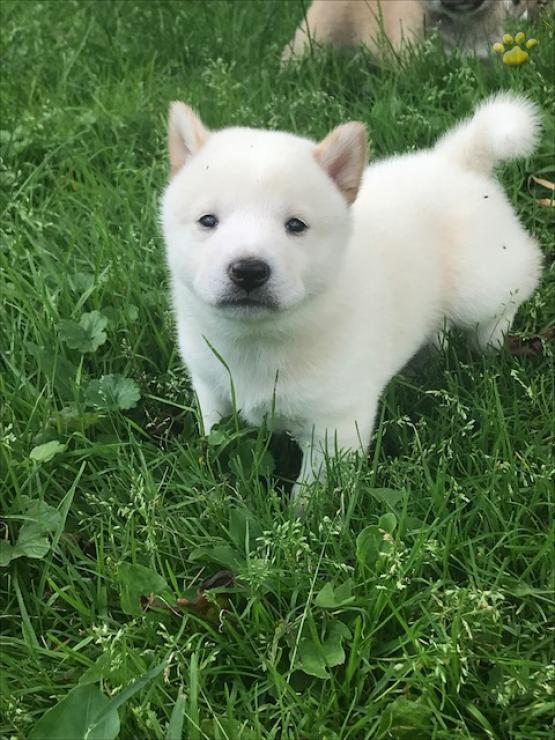 Hermoso perrito de shiba inu