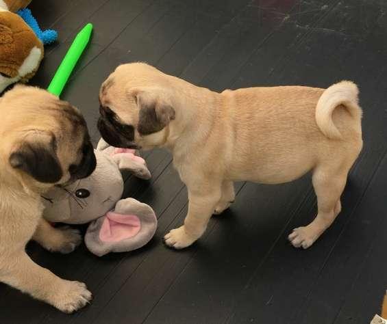 Cachorros de pug para adopcion si para adopcion