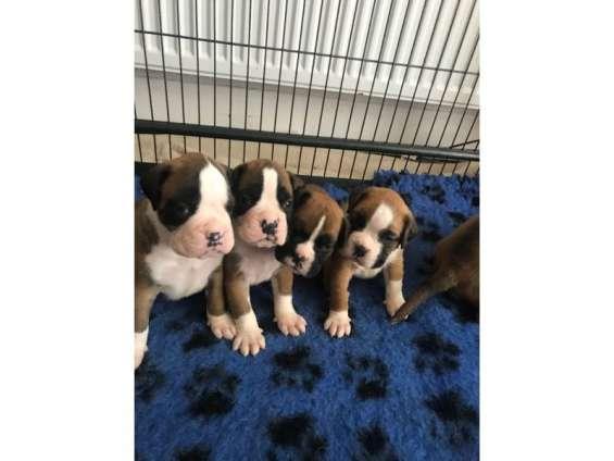 Cachorros boxer de rojo y blanco