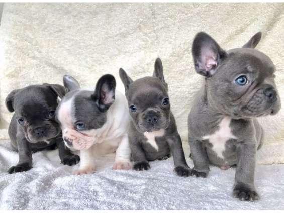 Hermosos cachorros bulldog francés para su aprobación