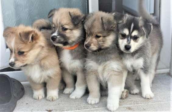 Hermosos cachorros pomsky