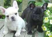 Cachorros de bulldog francés adopcion
