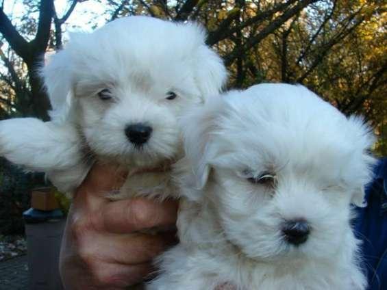 Dos cachorros maltés para la venta para adoption