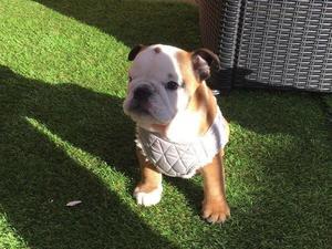 Bulldog inglés cachorros en venta