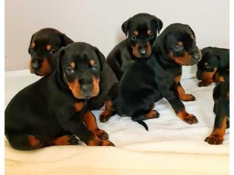 Hermosos cachorros de pura raza doberman doberman a la venta