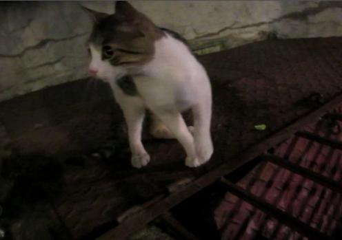 Gato en adopcion regalo gatito jugueton para regalar