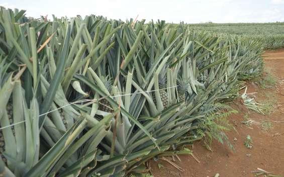 Se vende finca de 24,33 hectáreas en pital de san carlos, costa rica